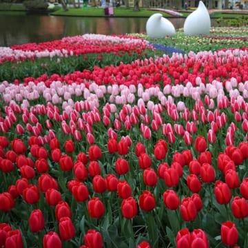 チューリップと風車<br/>Tulips & Windmills
